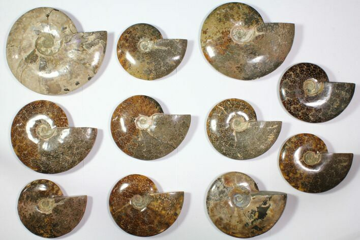 "Wholesale Lot: 6.2 - 9.2"" Polished Whole Ammonite Fossils - 11 Pieces"