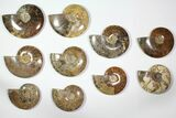"Wholesale Lot: 5.5 - 7.2"" Polished Whole Ammonite Fossils - 10 Pieces - #116726-1"