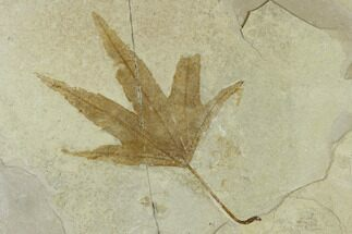 "Buy 5.3"" Fossil Sycamore Leaf (Platanus) - Green River Formation, Utah - #117985"