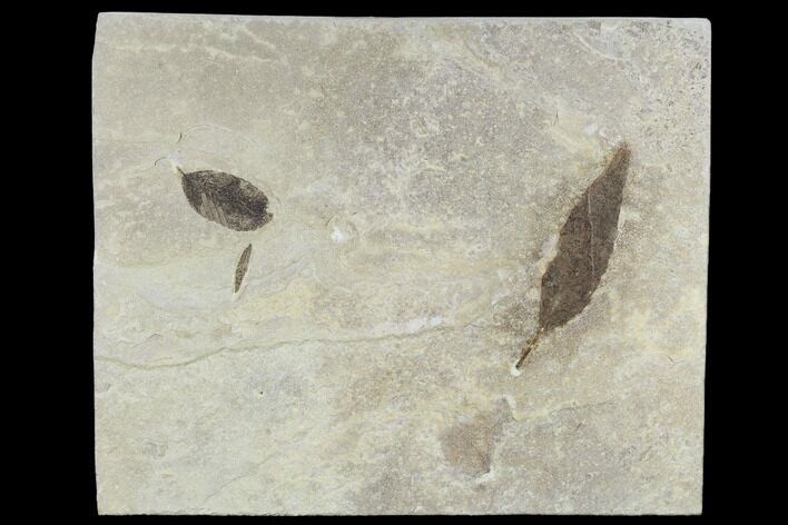 Three Fossil Leaves - Green River Formation, Utah