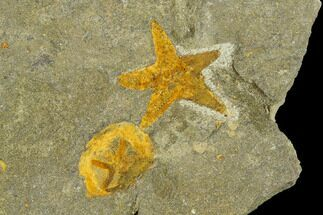 Fossil Starfish (Petraster) & Edrioasteroid (Spinadiscus) - Morocco For Sale, #118070