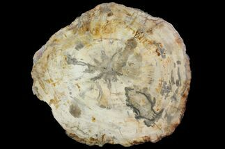 Araucaria sp. - Fossils For Sale - #118596