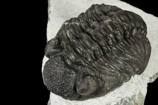 "1.95"" Adrisiops Weugi Trilobite - Recently Described Phacopid For Sale, #115223"