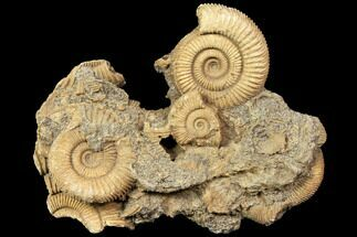 "4.2"" Dactylioceras Ammonite Cluster - Germany For Sale, #119363"