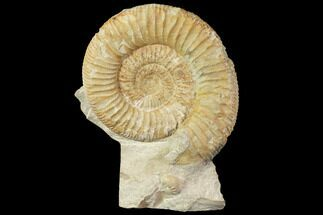 "4.4"" Fossil Ammonite (Orthosphinctes) - Germany For Sale, #119366"