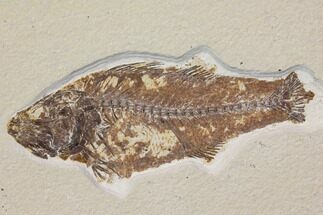 Mioplosus labracoides - Fossils For Sale - #119454