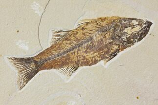 "Buy 9.7"" Fossil Fish (Mioplosus) - Uncommon Species - #119455"