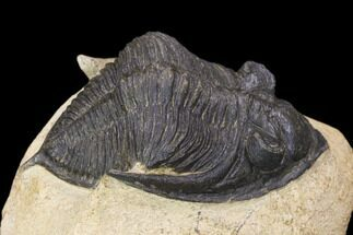 "Bargain, 2.55"" Zlichovaspis Trilobite - Atchana, Morocco For Sale, #119867"