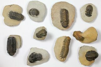Buy Wholesale Lot: Assorted Devonian Trilobites - 10 Pieces - #119914