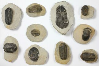 Buy Wholesale Lot: Assorted Devonian Trilobites - 10 Pieces - #119932