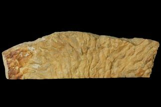 "8.4"" Fossil Stromatolite/Microbial Mat - Oklahoma For Sale, #114062"