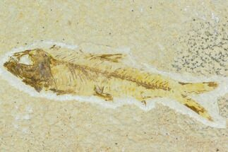 Knightia eocaena - Fossils For Sale - #120615
