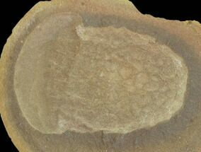 "Buy 2.6"" Fossil Jellyfish (Essexella) Pos/Neg - Illinois - #120712"