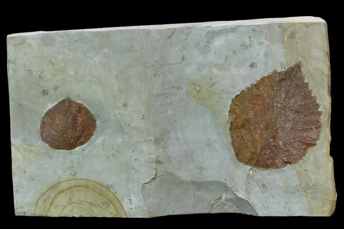 Two Fossil Leaves ( Zizyphoides And Davidia) - Montana