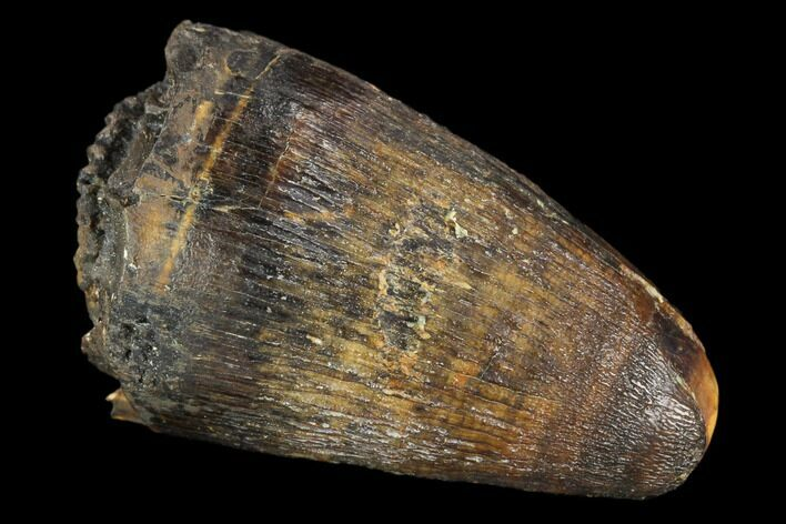 "1.3"" Fossil Deinosuchus Tooth - Aguja Formation, Texas"