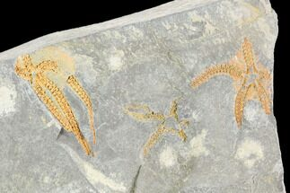 Ophiura sp. - Fossils For Sale - #118695