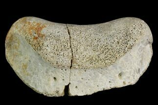 "Buy 1.9"" Fossil Hadrosaur Phalange (Toe) Bone - Aguja Formation, Texas - #116587"