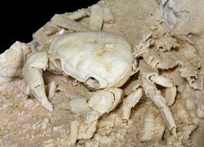 "Buy 2.9"" Fossil Crab (Potamon) Preserved in Travertine - Turkey - #121387"