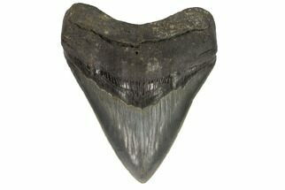 Carcharocles megalodon - Fossils For Sale - #121425