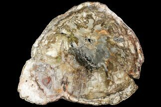 "Bargain, 20.1"" Petrified Wood (Araucaria) Round - Madagascar  For Sale, #119654"