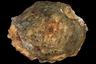 "Buy Bargain, 21"" Petrified Wood (Araucaria) Round - Madagascar  - #120391"