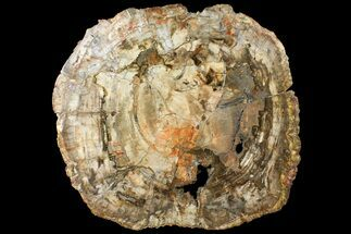 "Bargain, 21.9"" Petrified Wood (Araucaria) Round - Madagascar  For Sale, #120392"