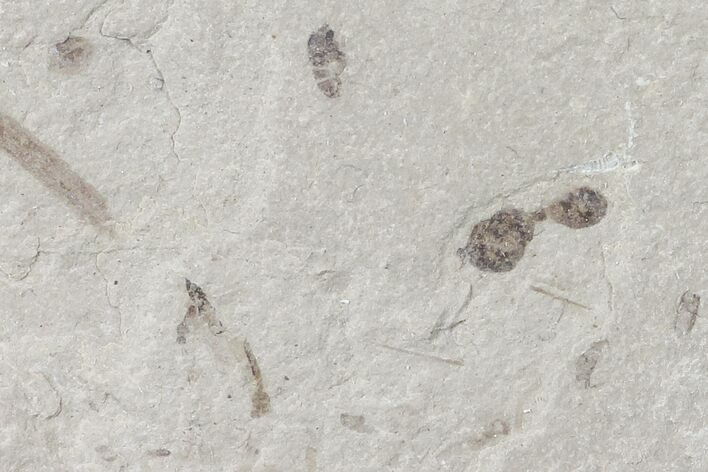 Fossil Ant, Wasp, Crane Fly - Green River Formation, Utah