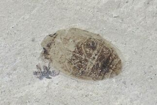 Coleoptera - Fossils For Sale - #109188