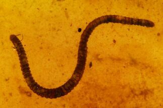 6.5mm Fossil Millipede (Siphonophorida) In Amber - Myanmar For Sale, #122066