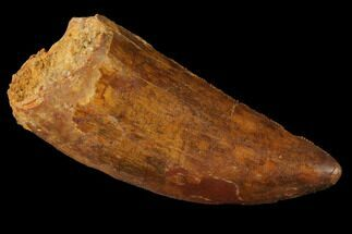 "Serrated, 2.88"" Carcharodontosaurus Tooth - Real Dinosaur Tooth For Sale, #121514"