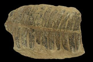 "Buy 1.5"" Fossil Fern (Pecopteris) - Mazon Creek - #121063"