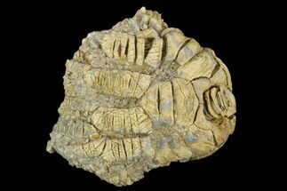 "1.5"" Fossil Crinoid (Cusacrinus) - Alabama For Sale, #122402"