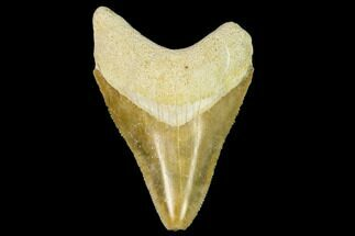 Carcharocles megalodon - Fossils For Sale - #122556
