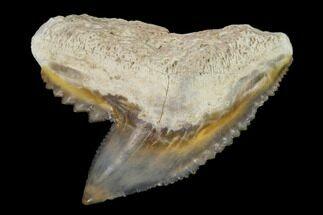 Galeocerdo cuvier - Fossils For Sale - #122574