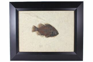 "Buy 6.4"" Framed Fossil Fish (Priscacara) - Wyoming - #122644"