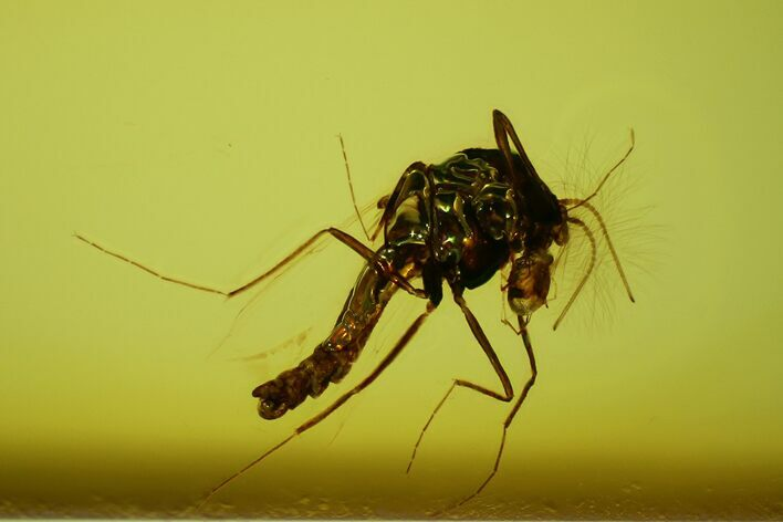1.3mm Fossil Fly With Parasitic Mite (Phoresy) In Baltic Amber