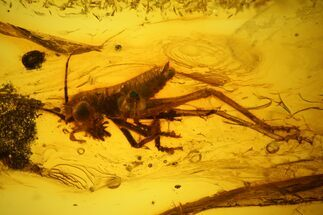 Buy 7.8mm Bush Cricket (Tettigoniidae) In Baltic Amber - Rare! - #123400
