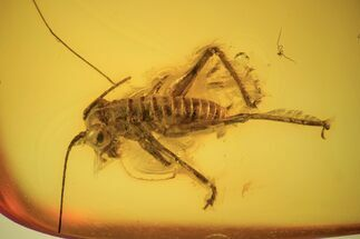 Buy 7mm Bush Cricket (Tettigoniidae) In Baltic Amber - Rare! - #123403