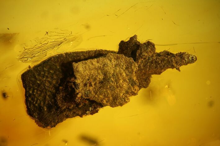 9mm Caddisfly Larval Case With Larva In Baltic Amber