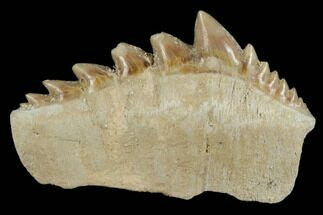 "Buy 1.75"" Fossil Cow Shark (Hexanchus) Tooth - Morocco - #115822"