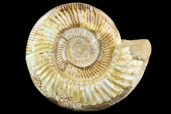 "8.3"" Polished Jurassic Ammonite (Perisphinctes) - Madagascar"