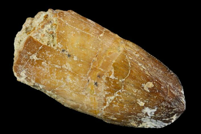 "1.35"" Rooted Cretaceous Fossil Crocodile Tooth - Morocco"