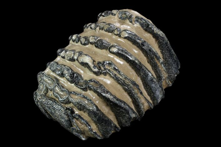 "4.6"" Southern Mammoth Molar Section - Hungary"