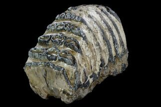 Mammuthus meridionalis - Fossils For Sale - #123663