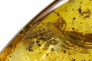 Buy 6.0mm Fossil Millipede (Diplopoda) In Amber - Myanmar - #123001