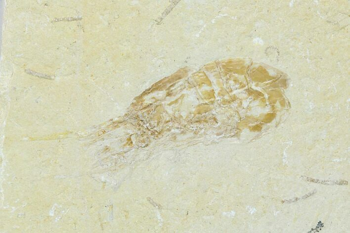 Two Cretaceous Fossil Shrimp (Carpopenaeus) - Lebanon