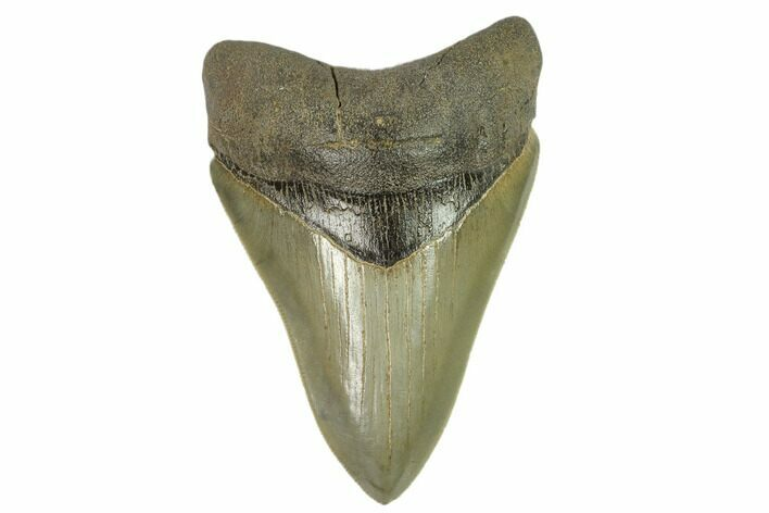"Serrated, 4.01"" Fossil Megalodon Tooth - South Carolina"