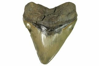 "Serrated, 5.95"" Fossil Megalodon Tooth - Very Wide Tooth For Sale, #124205"