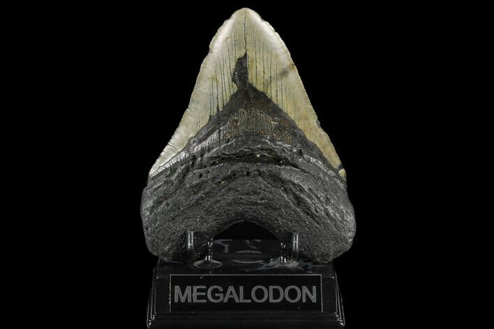 "5.49"" Fossil Megalodon Tooth - North Carolina"