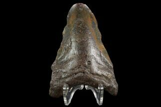 "Buy Bargain, 3.75"" Fossil Megalodon Tooth - North Carolina - #124777"